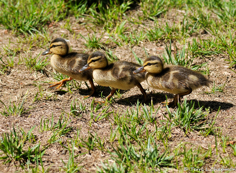 Three Mallard Ducklings walking on a lawn on their way to a pond