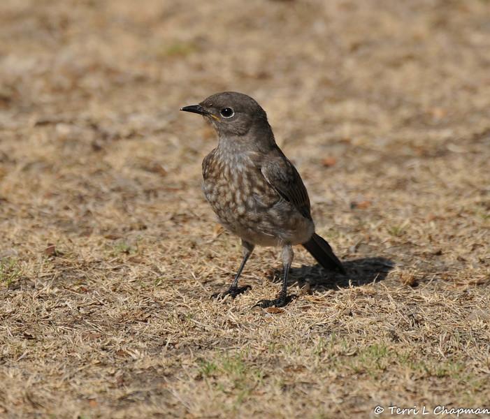 A juvenile Western Bluebird
