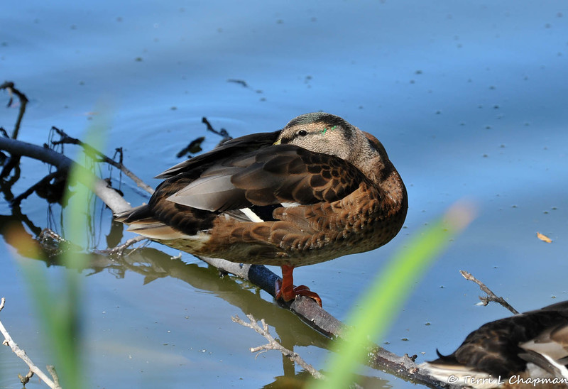 A male Mallard duck resting on a fallen tree branch in a pond