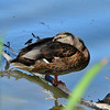 A male Mallard duck resting on a fallen tree branch in a pond