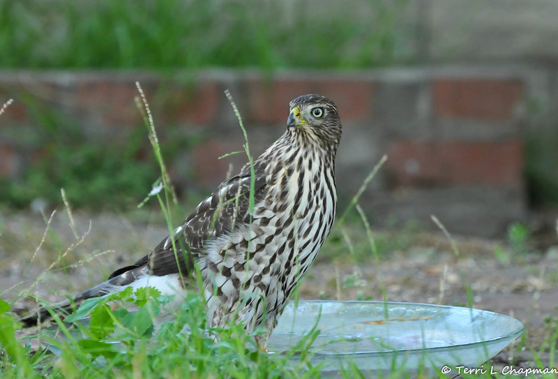 This juvenile Cooper's Hawk was beating the heat in my backyard by hopping into the glass water bowl and taking a bath!