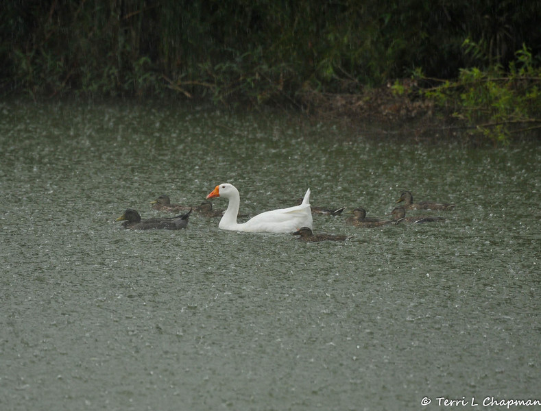 """On July 18, 2015, we had an unusual summer thunder storm and I was standing at the bird observation deck at Descanso Gardens when the rain started pouring down. I captured this moment of the resident goose, """"Powder,"""" swimming with Mallard ducks...seemingly carefree in spite of the weather."""