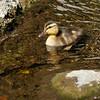 A Mallard duckling
