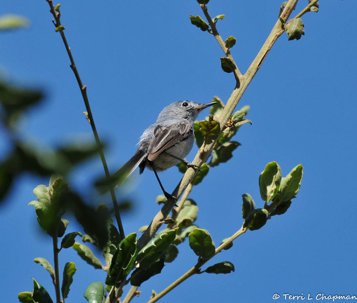 This is a Blue-gray Gnatcatcher that was looking for insects to feed a fledgling Brown-headed Cowbird (see next bird image). Unfortunately, this songbird had no idea it was raising another bird's offspring. Female Cowbirds are notorious for laying their eggs in the nests of other birds. They abandon their young to foster parents, usually at the expense of at least some of the host's own chicks. This is difficult to see as someone who is passionate about birds because songbird species are declining as they are parenting another species offspring at the expense of their own offspring, which usually perish as the much larger cowbird grows and out feeds the small songbirds.