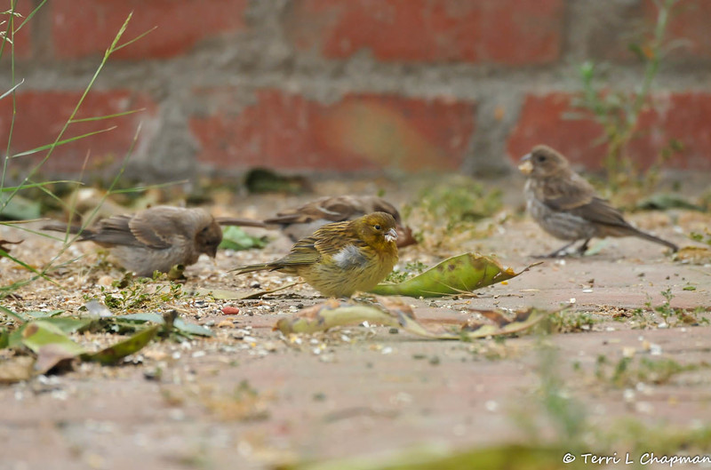 The yellow colored bird in the middle of this image (surrounded by female House Finches)  is an Atlantic canary (Serinus canaria) and known worldwide simply as a wild canary. It is also called the island canary, canary or common canary, and is a small passerine bird native to the Canary Islands, the Azores, and Madeira. I photographed this bird in my backyard on July 5, 2015.