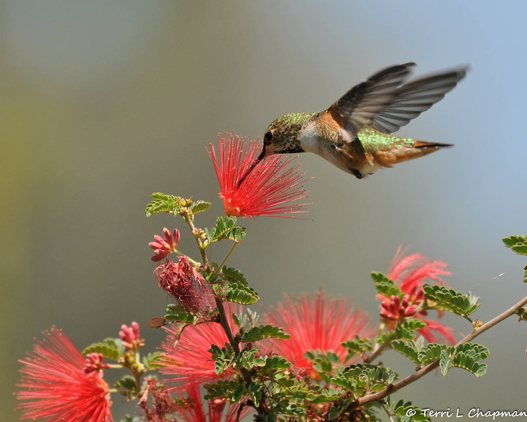 A female Allen's Hummingbird sipping nectar from a Baja Fairy Duster bloom