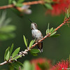 An Allen's Hummingbird perched in my Bottle Brush tree