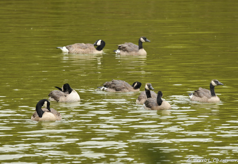 A lone pair of Canada Geese visit Descanso Gardens each Spring to raise their young. This year they had 6 goslings and all of them survived! This image shows the 6 juveniles and the parents!