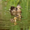 A mother Mallard swimming with 2 of her ducklings