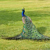 A male Indian Peacock spreading his feathers out on the lawn of the LA Arboretum
