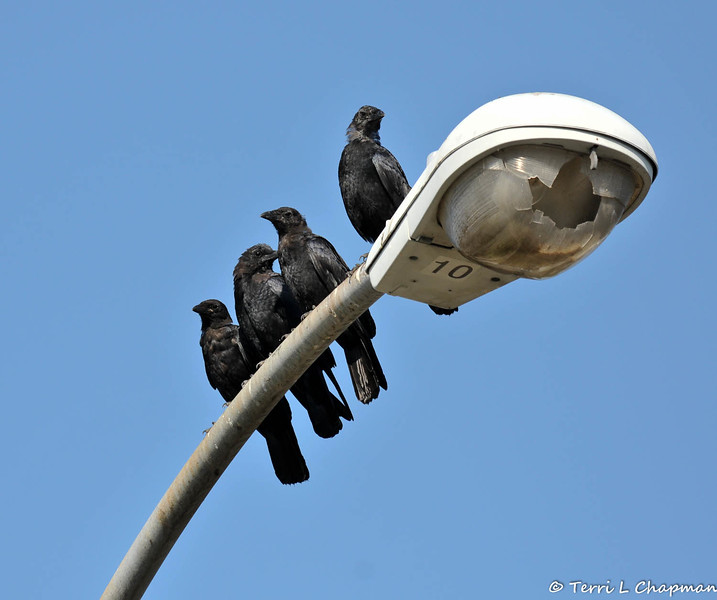 Four juvenile American Crows hanging out on the lamp post across the street from my house. I think the city needs to replace the cover! Anyway, these crows show up each day looking for a hand out. They are pretty scruffy looking, but I do give them peanuts and they eat the mealworms from the feeder I have in the front yard for the flycatchers.