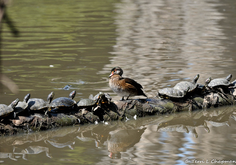A juvenile male Wood Duck, perched on a fallen palm tree, along side many slider turtles sunning themselves