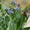A female Allen's Hummingbird in flight