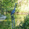 A Great Blue Heron using a water pipe as a lookout to find a fish in the pond below