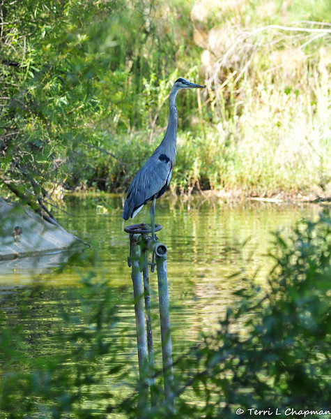 A Great Blue Heron using a water pipe as a lookout to find a fish in the lake below