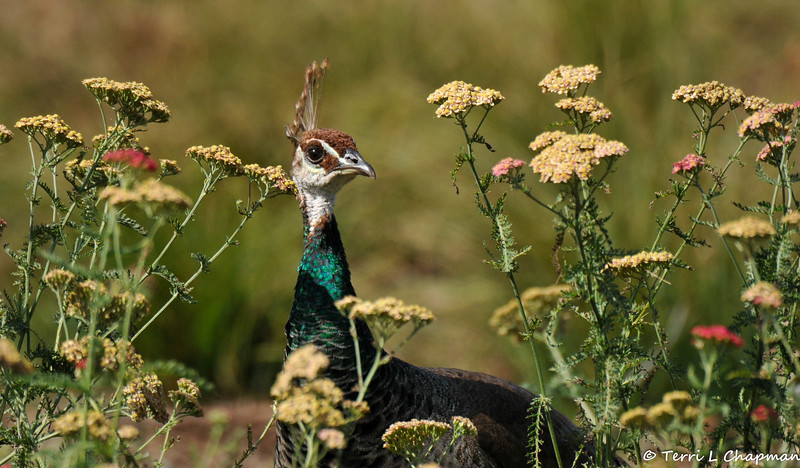 An Indian Peahen in a field of wildlfowers