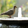 A Mourning Dove taking a drink from my backyard fountain