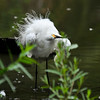 A Snowy Egret shaking its feathers