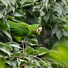 A wild Mitred Parakeet eating the fruit of a Hackberry tree