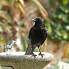 An American Crow perched on a drinking fountain at Descanso Gardens. Crows are so intelligent and this crow followed me all around the gardens  in the hopes I had some food to share.