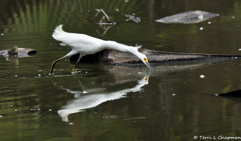 A Snowy Egret searching for a meal