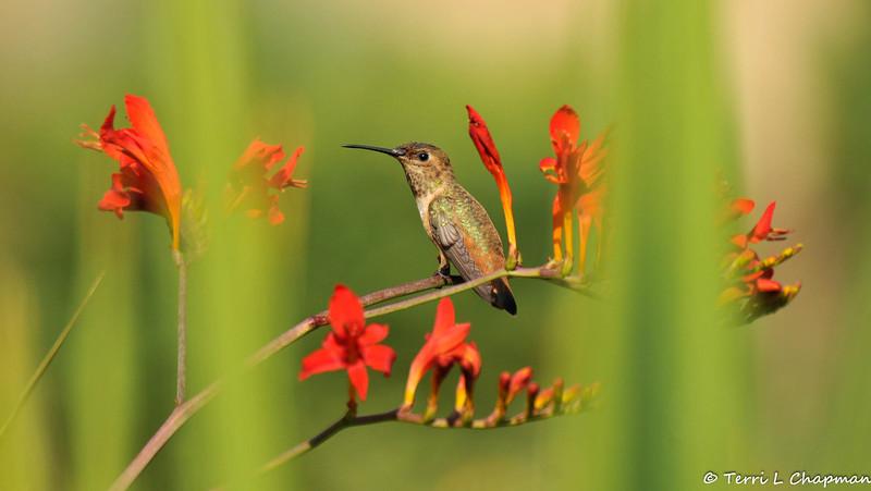 An Allen's Hummingbird perched on a Crocosmia stem