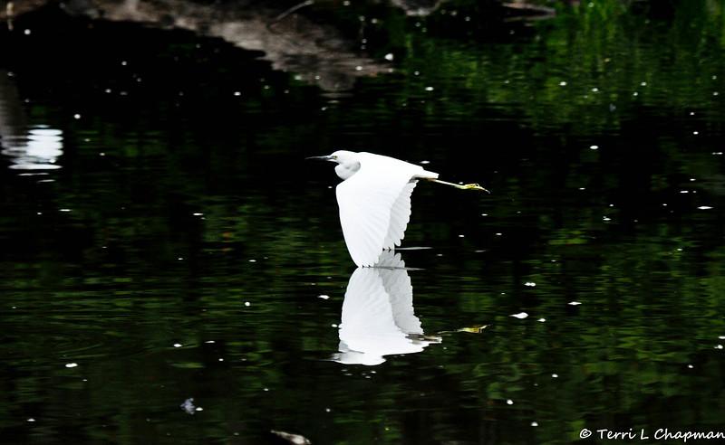A Snowy Egret in flight