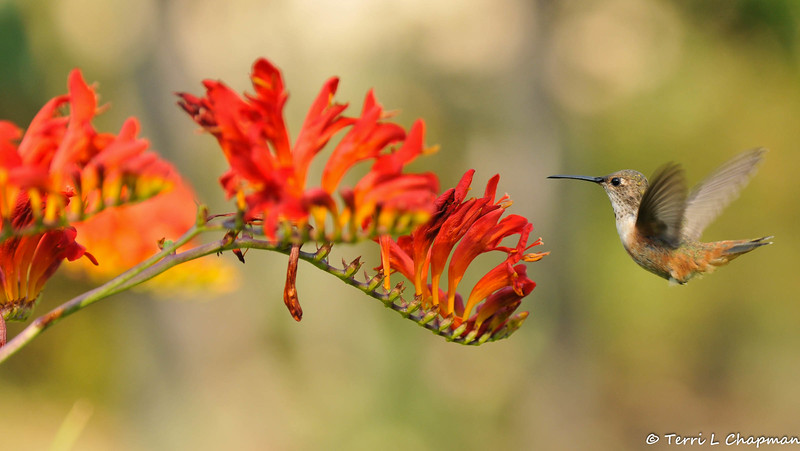A female Allen's Hummingbird with Crocosmia flowers