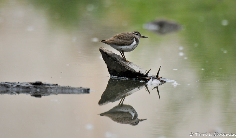 A Spotted Sandpiper perched on a rock sticking out of the lake