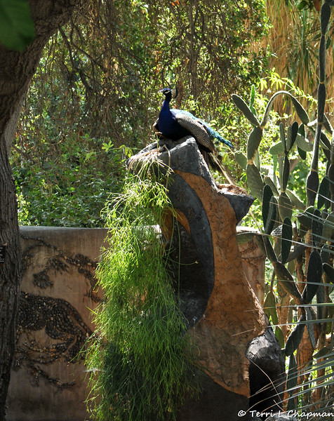 An Indian Peacock perched on top of a ceramic sculpture at the LA Arboretum