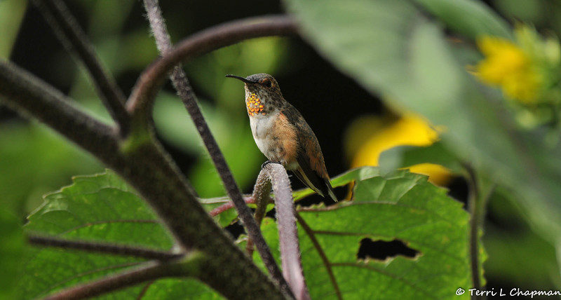 A male Allen's Hummingbird perched on the stem of a sunflower