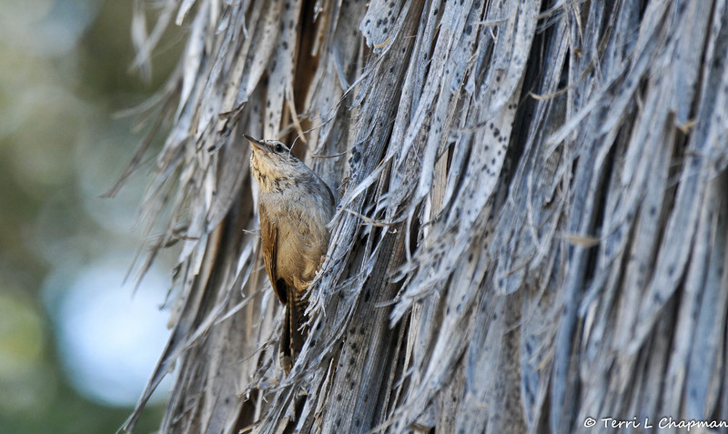A Bewick's Wren looking for insects in the dead frawns of a Palm tree