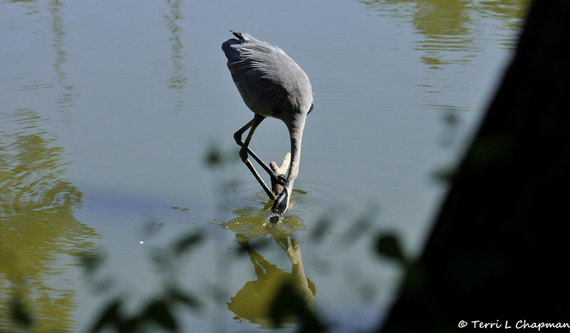 A Great Blue Heron trying to catch a fish