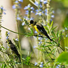 A male and female Lesser Goldfinch perched in a Salvia azurea plant