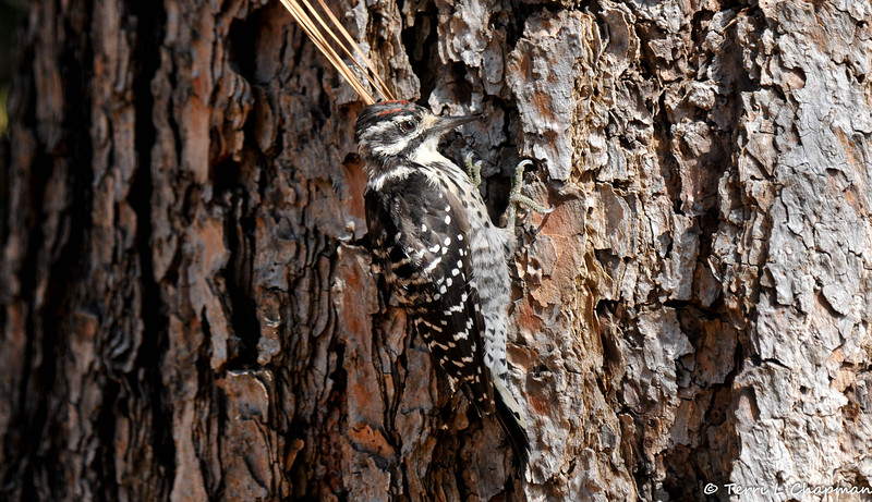 A juvenile male Nuttall's Woodpecker searching for insects in the trunk of the pine tree