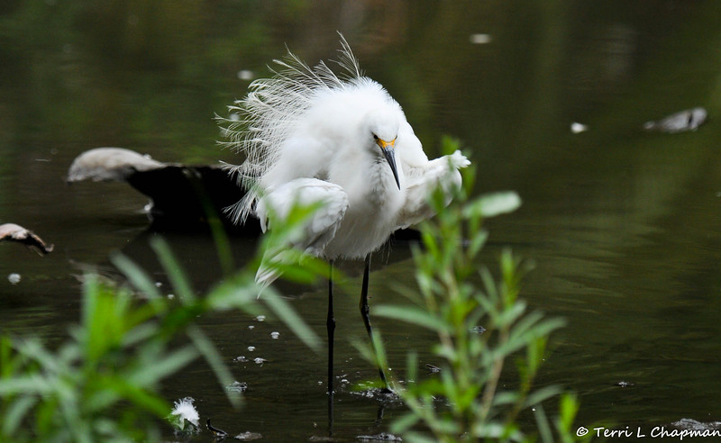 A Snowy Egret shaking its feather
