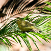 An Orange-crowned Warbler using the water on the palm frond to clean its feathers