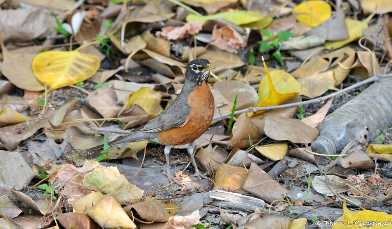 A very handsome American Robin in search of dropped fruit from a nearby fig tree (this photograph was taken at the LA Arboretum and it is so sad to see a plastic water bottle on the ground at this botanical garden. Unfortunately, I cannot go anywhere to photograph nature and not see garbage that has not been properly disposed of.)