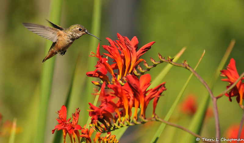 An Allen's Hummingbird with Crocosmia flowers