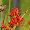 An Allen's Hummingbird with Crocosmia flowers