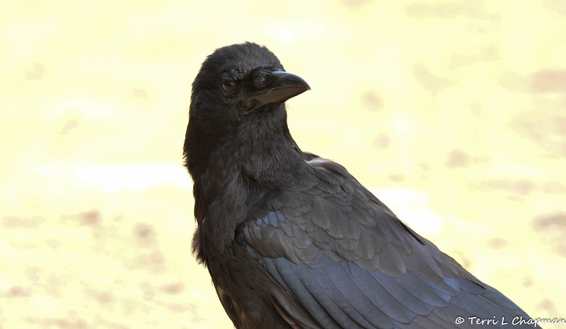 A close up photograph of the American Crow that followed me around Descanso Gardens.