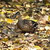 A female Mallard Duck among the dropped leaves of a nearby fig tree