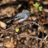 A young Blue-gray Gnatcatcher. This youngster was with its parents and they were feeding taking turns feeding it.