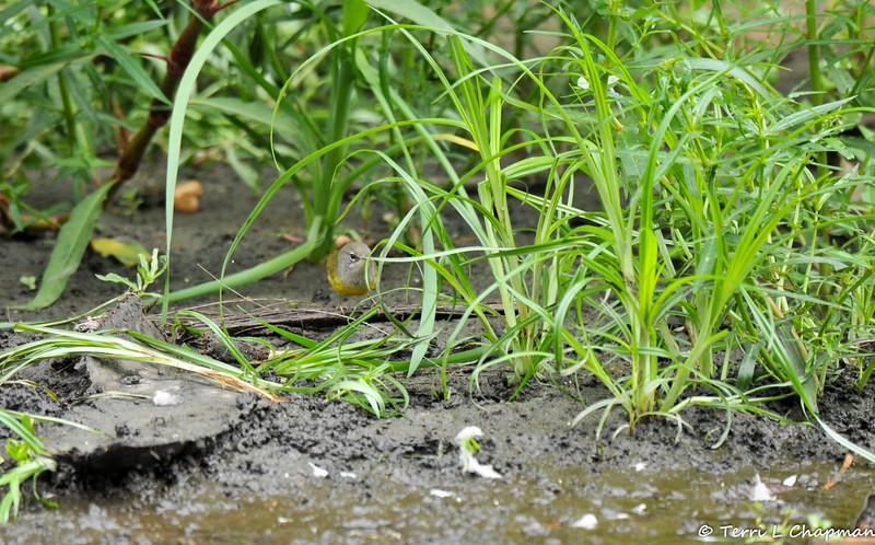 A MacGillivray's Warbler