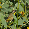 A juvenile male Common Yellowthroat Warbler perched on the stem of a sunflower