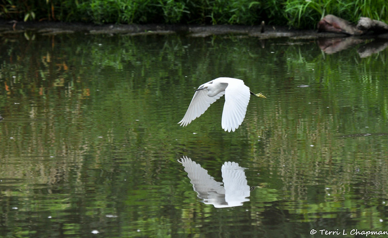 A Snowy Egret in flight