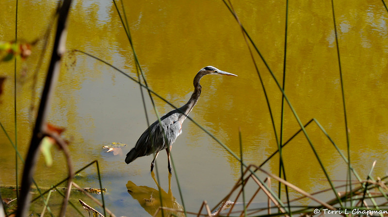 A Great Blue Heron hunting for a fish
