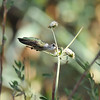 A female Black-chinned Hummingbird