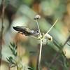A female Black-chinned Hummingbird