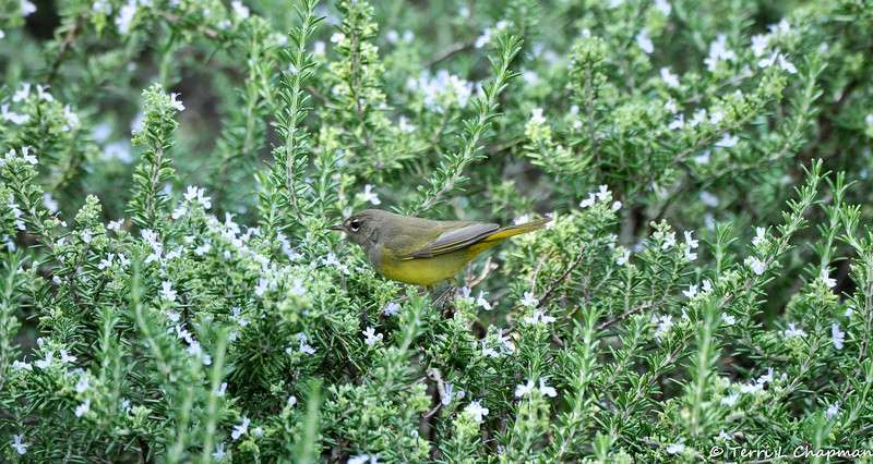 A MacGillivray's Warbler searching for insects in a Rosemary bush